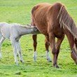 Stock Photo: Horse with its son eating grass
