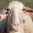 Portrait of sheep - Stock Photo