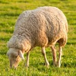 White ewe grazing - Stock Photo