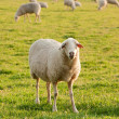 Stock Photo: White ewe