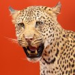 Nice portrait of a leopard stuffed - Stock Photo