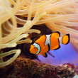 Stock Photo: Fish and anemone