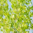 Sunny green leaves of a tree — Stock Photo