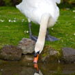Pretty swan drinking water - Stock Photo