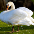 Swan in freedom - Stock Photo