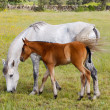 Horse with its son eating grass — Stock Photo
