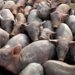Group of pigs — 图库照片