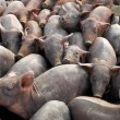 Group of pigs — Foto de Stock