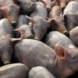 A lot of crowded piggies — Stock Photo