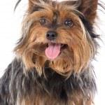 Small dog — Stock Photo #9439694