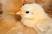 Pollo con muchos polluelos acurrucados alrededor — Foto de Stock