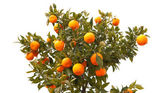 Beautiful tree with mandarin fruit — Stock Photo