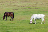 Two horses grazing in a meadow — Stock Photo