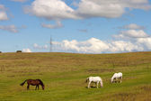 Three horses grazing in a meadow — Stock Photo