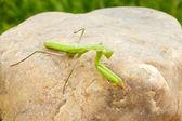 Mantis — Stock Photo