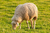 White ewe grazing — Stock Photo