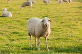 White ewe — Stock Photo