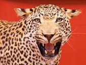 Nice portrait of a leopard stuffed — Stock Photo