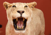 Aggressive expression of stuffed lion with red background — Stock Photo