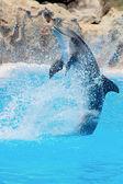 Dolphin — Stock Photo