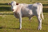 White calf in the field — Stock Photo