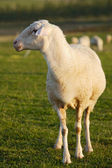 Ewe baby in the field — Stock Photo