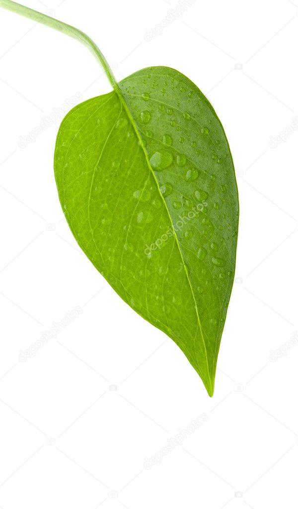 A photo of leaf green and fresh isolation over white background — Stock Photo #9438062