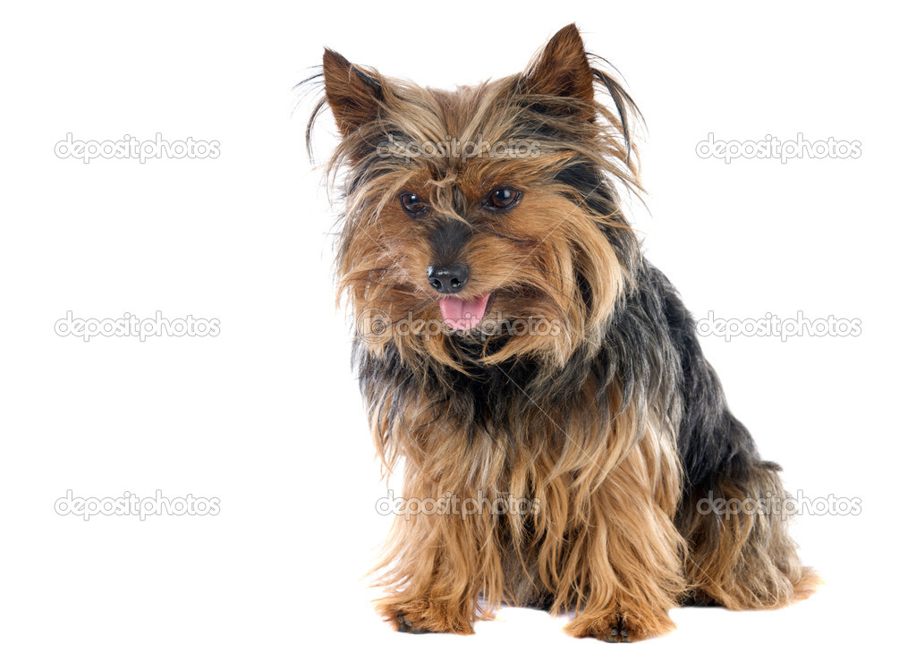 Adorable small dog a over white background — Stock Photo #9439729