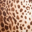 Leopard pattern texture - Stock fotografie