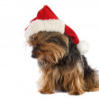 Dog with Santa Claus hat - Stock Photo