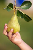 Hand catching a pear — Stock Photo