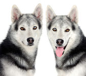 Couple of dogs — Stock Photo