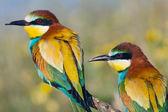 Casal de pássaros — Foto Stock