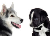 Couple of dogs with different races — Stock Photo