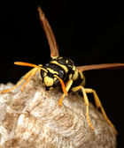 Macro of a wasp in the nest — Stock Photo