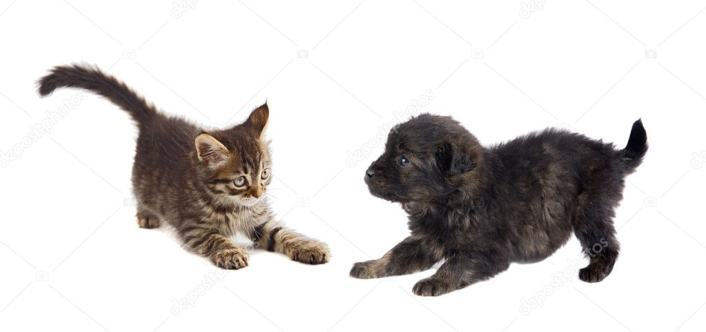 Puppy and kitten playing isolated on white background — Stock Photo #9441053