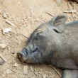Sleeping Pig — Stock Photo #10365550
