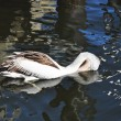 Stock Photo: AustraliPelican
