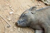 Cochon de couchage — Photo