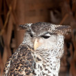 Wicked Owl — Stock Photo