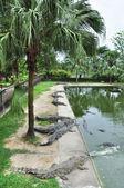 鳄鱼附近水 — 图库照片