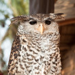 Stock Photo: Sitting Owl