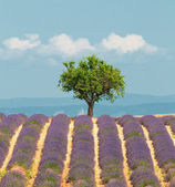 Tree in lavender field, Provence, France — Stock Photo
