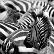 Pattern of zebras - Stock Photo