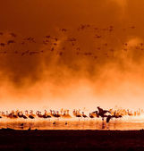 Flocks of flamingos in the sunrise — Stock Photo