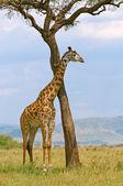 Giraffe and a tree — Stock Photo