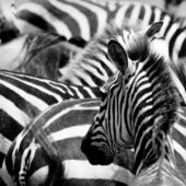 Pattern of zebras — Stock Photo