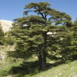 Lebanese cedar — Stock Photo