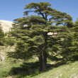Stock Photo: Lebanese cedar