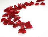 Rose petals on white background — Stock Photo